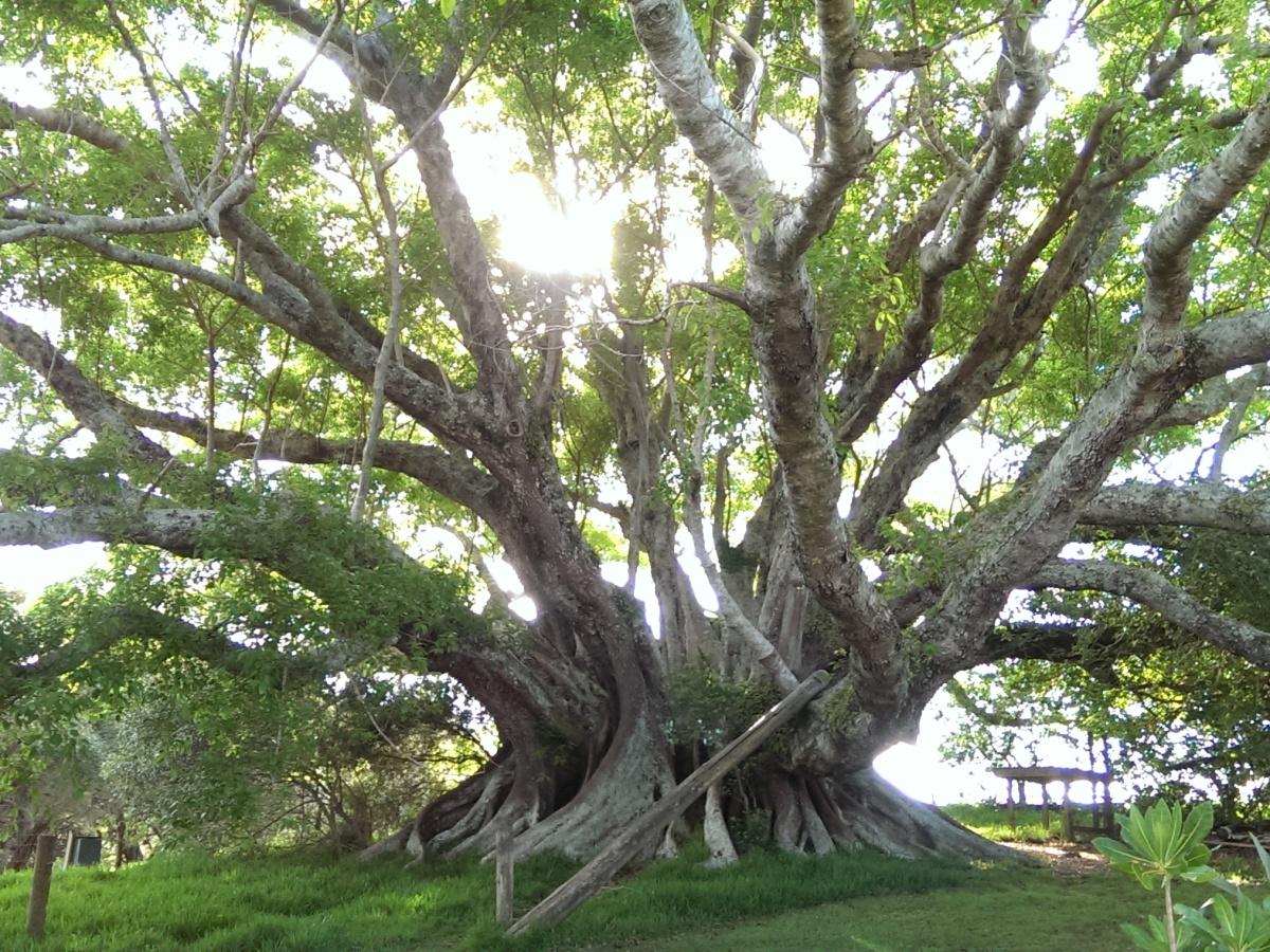 Tree, Norfolk Island, Fig, St. Barnabas Chapel, Church of England