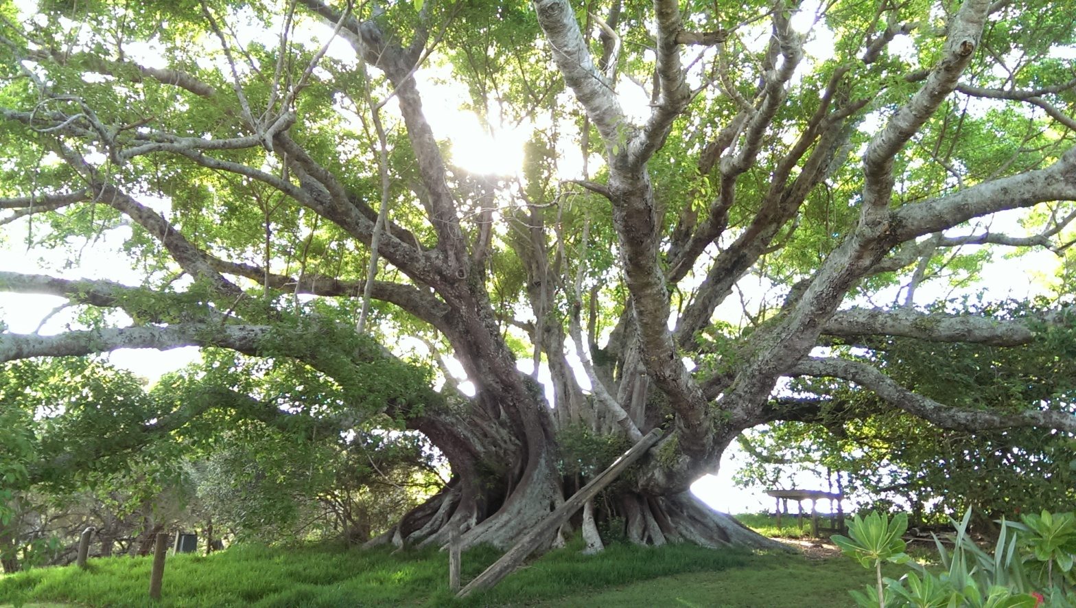 Tree, Norfolk Island, Fig, St. Barnabas Chapel, Church of England